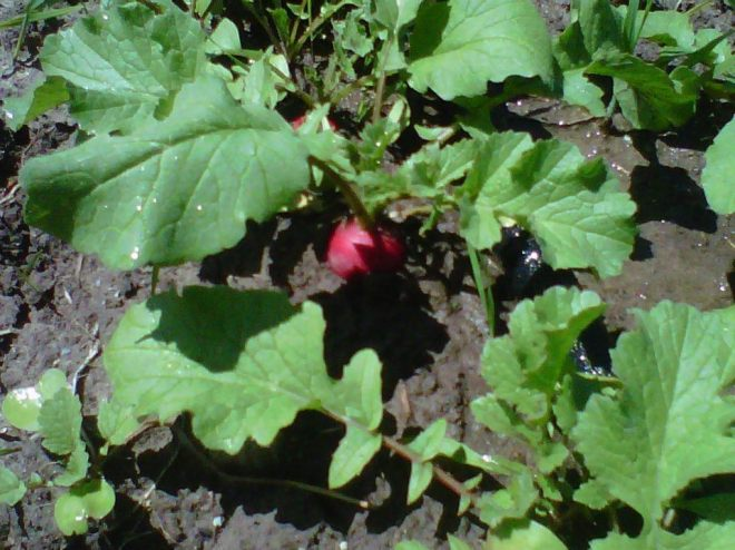 Oh my lovely radish...how quickly you grow.
